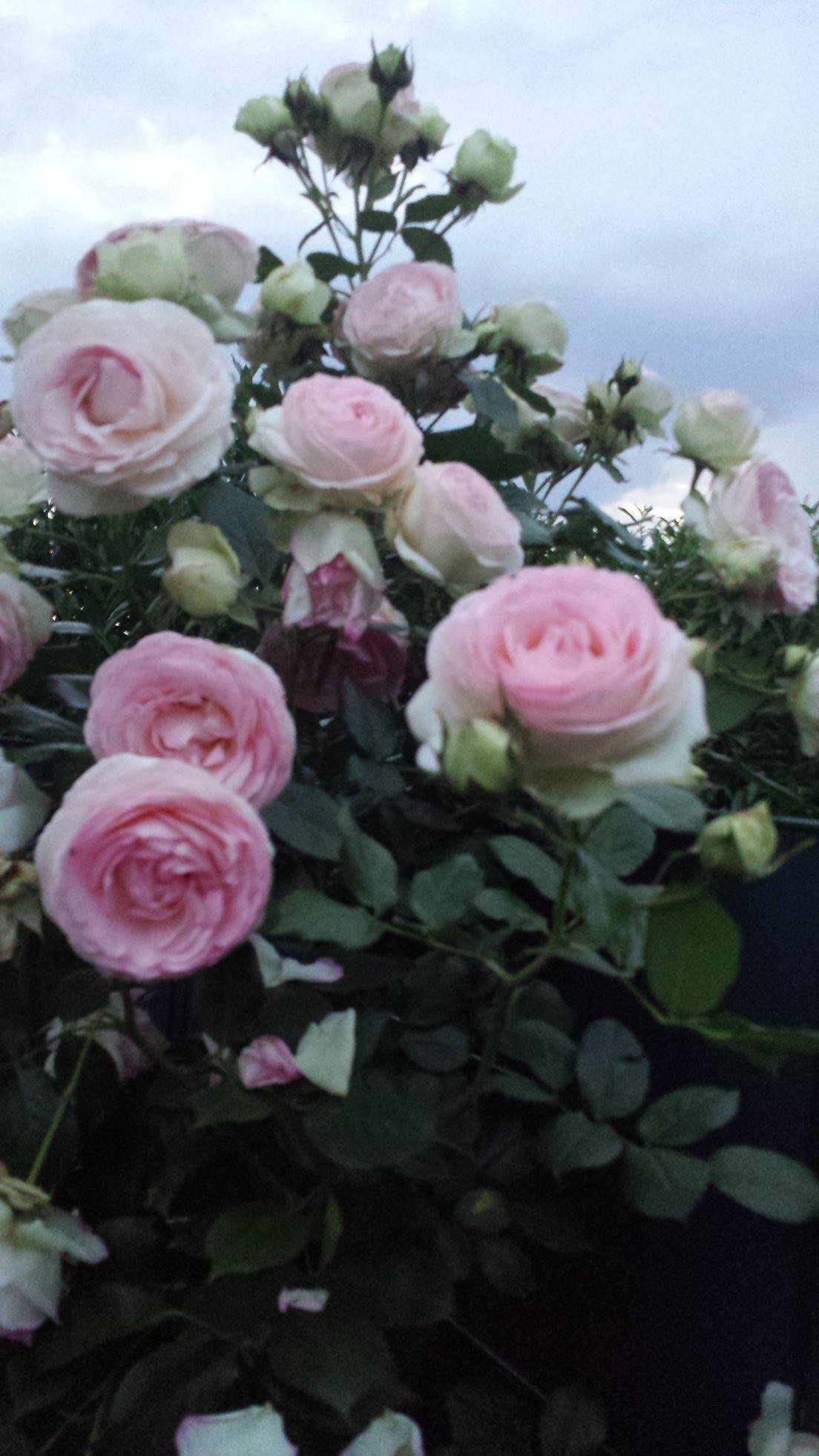 meine Rosen im Garten