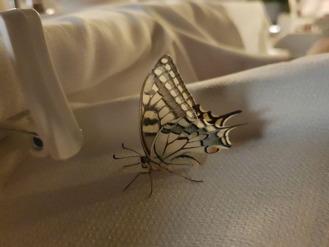 Бабочка из Фетхие