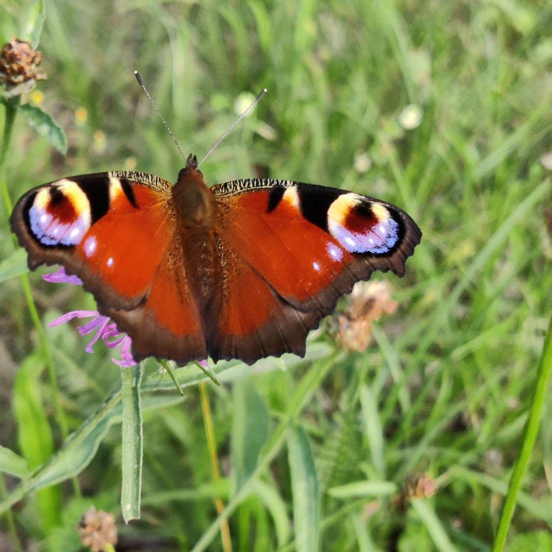 Schmetterling aus Cottbus