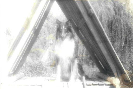Наш новый член семьи, собака породы колли, по клички Дюран