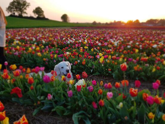 Цветы и мой ретривер Ник