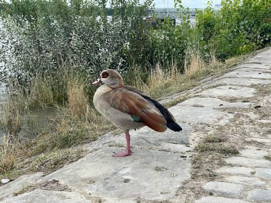 sevenpics presents - Утинго -смесь утки и фламинго