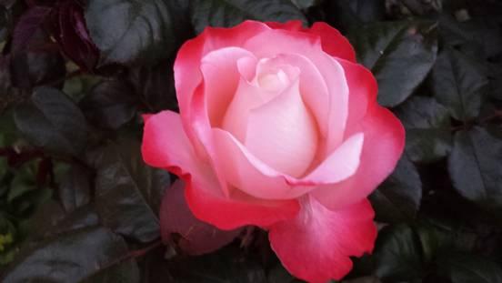 sevenpics presents - Розы в моем саду