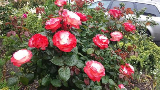 sevenpics presents -  Rosen lässt sich jeder Garten verschönern