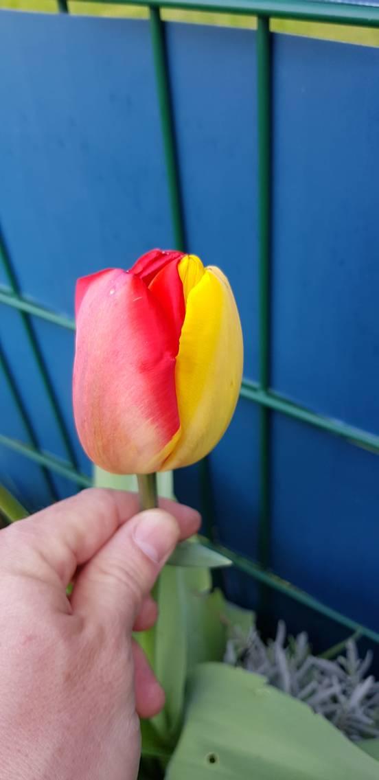 sevenpics presents - Außergewöhnliche Tulpen