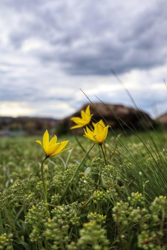 sevenpics presents - Wild tulips