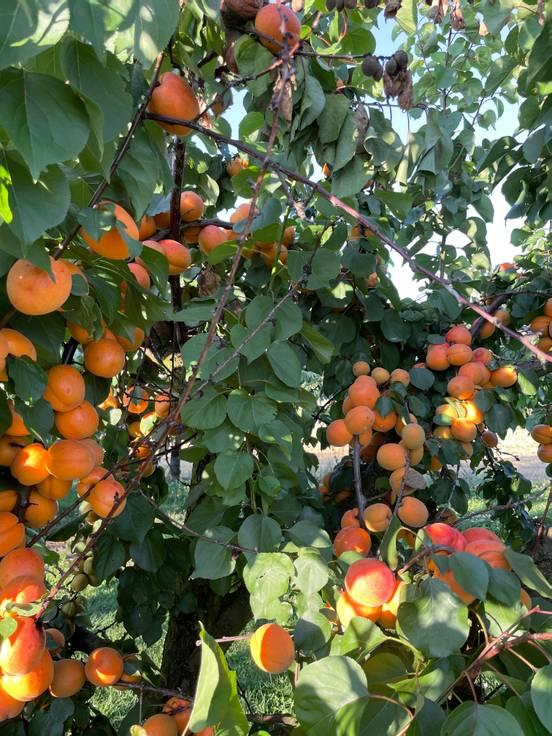 �брико�овое дерево �ловно �годное