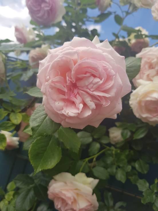 sevenpics presents - meine schöne Rosen