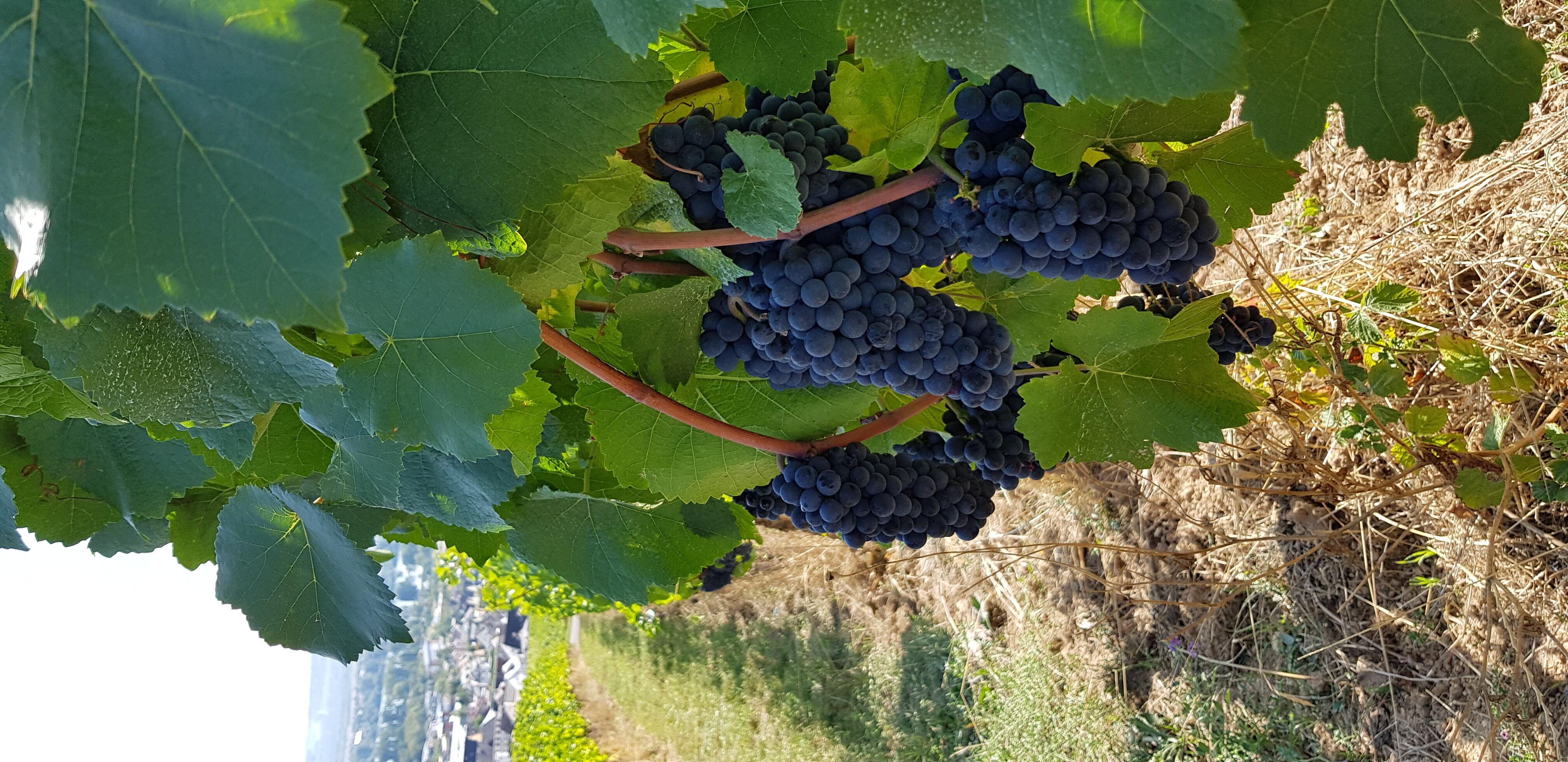 Weingebiete am Rhein
