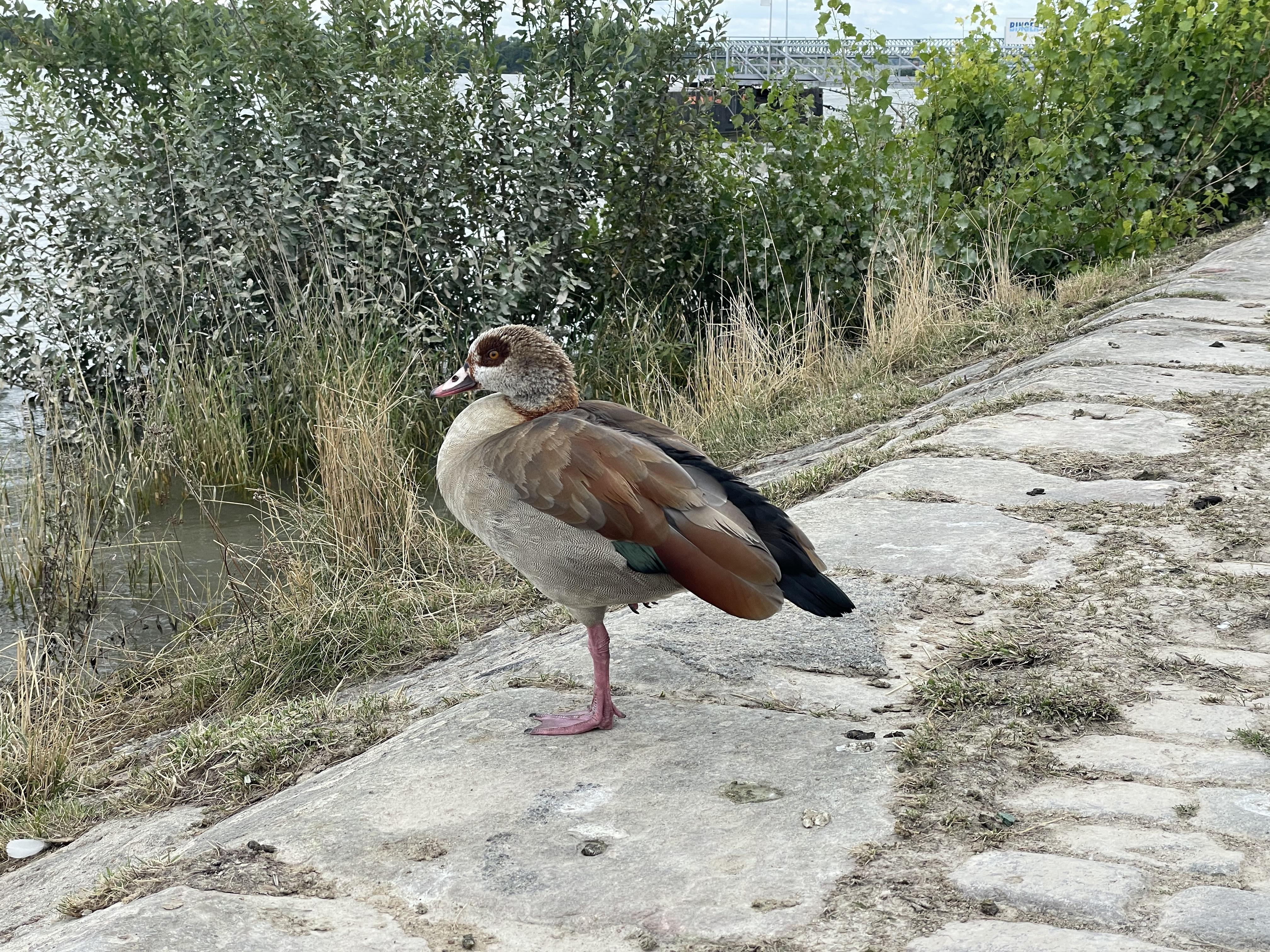Утинго -смесь утки и фламинго