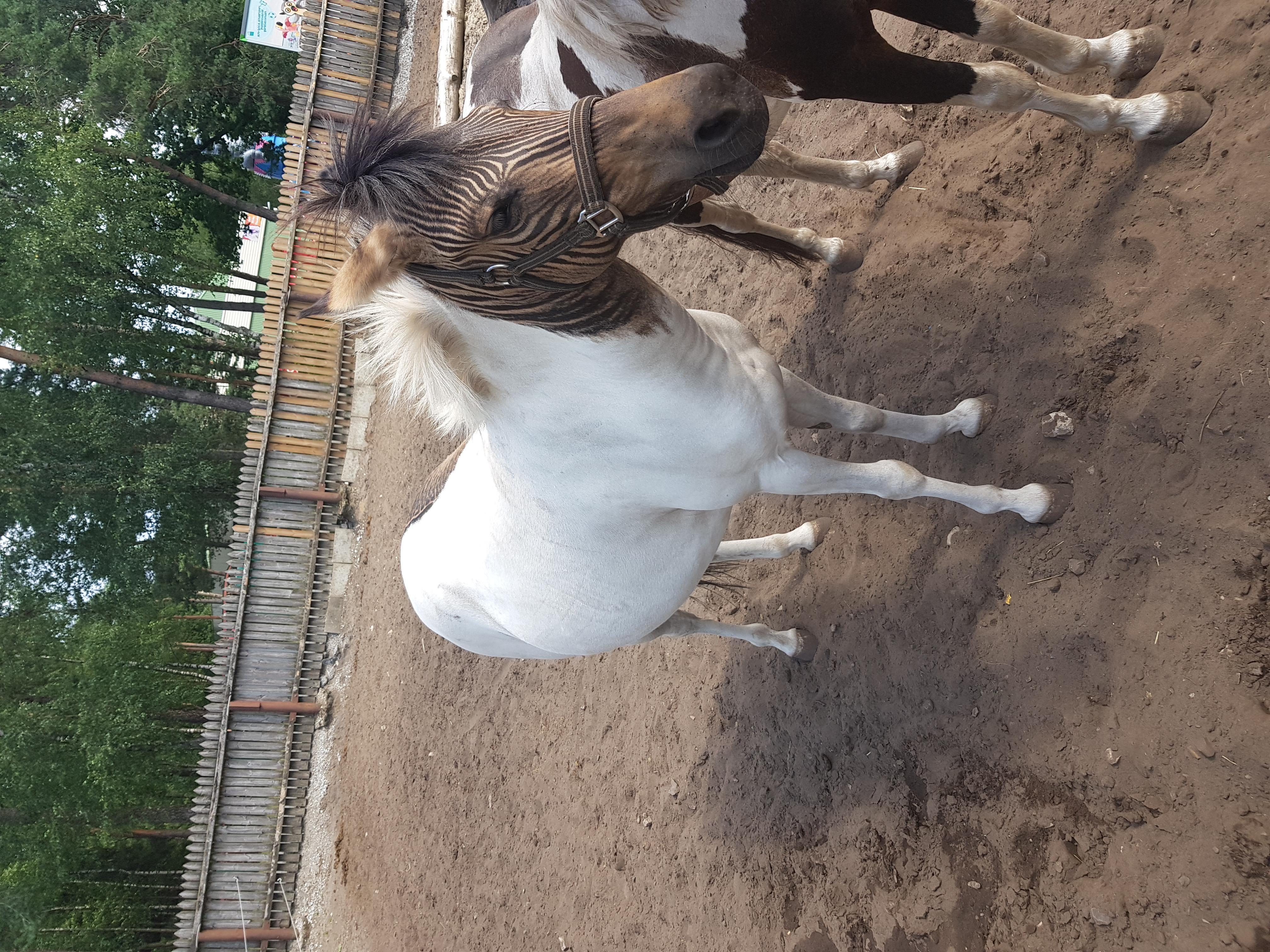 Зеброид или Зебрулы- гибрид Лошади и Зебры