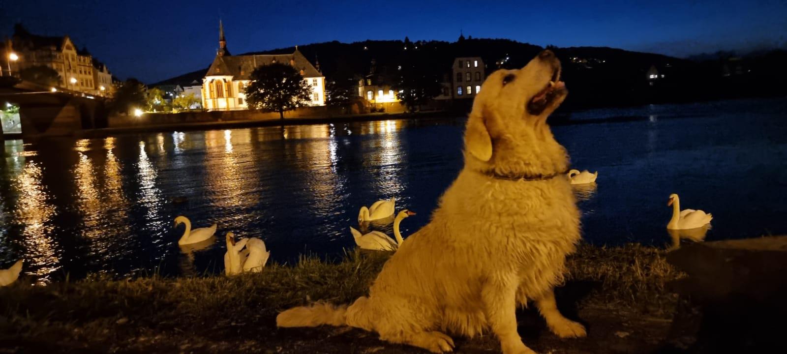 Ретривер Ник и гуси лебеди !
