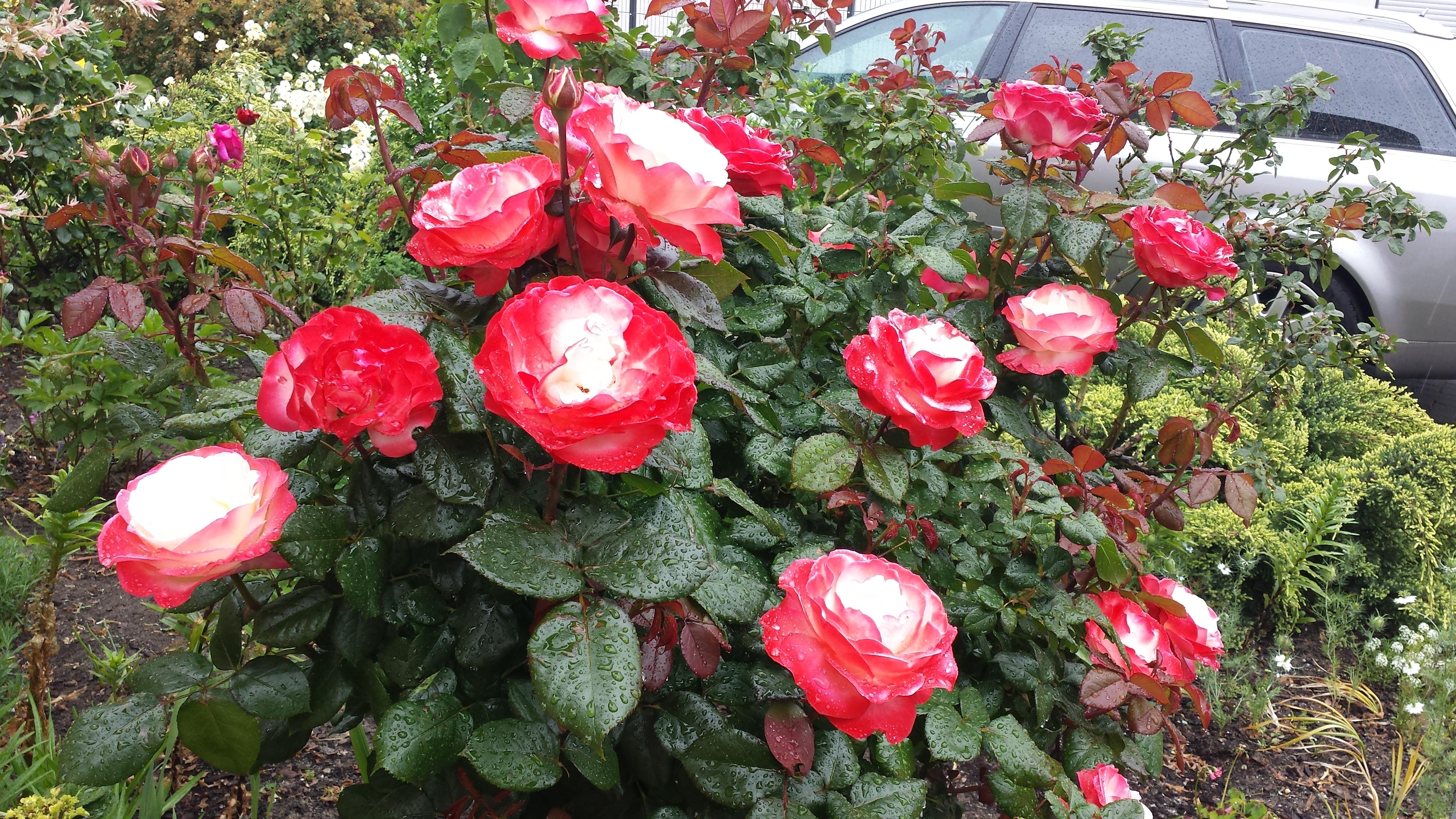 Rosen lässt sich jeder Garten verschönern