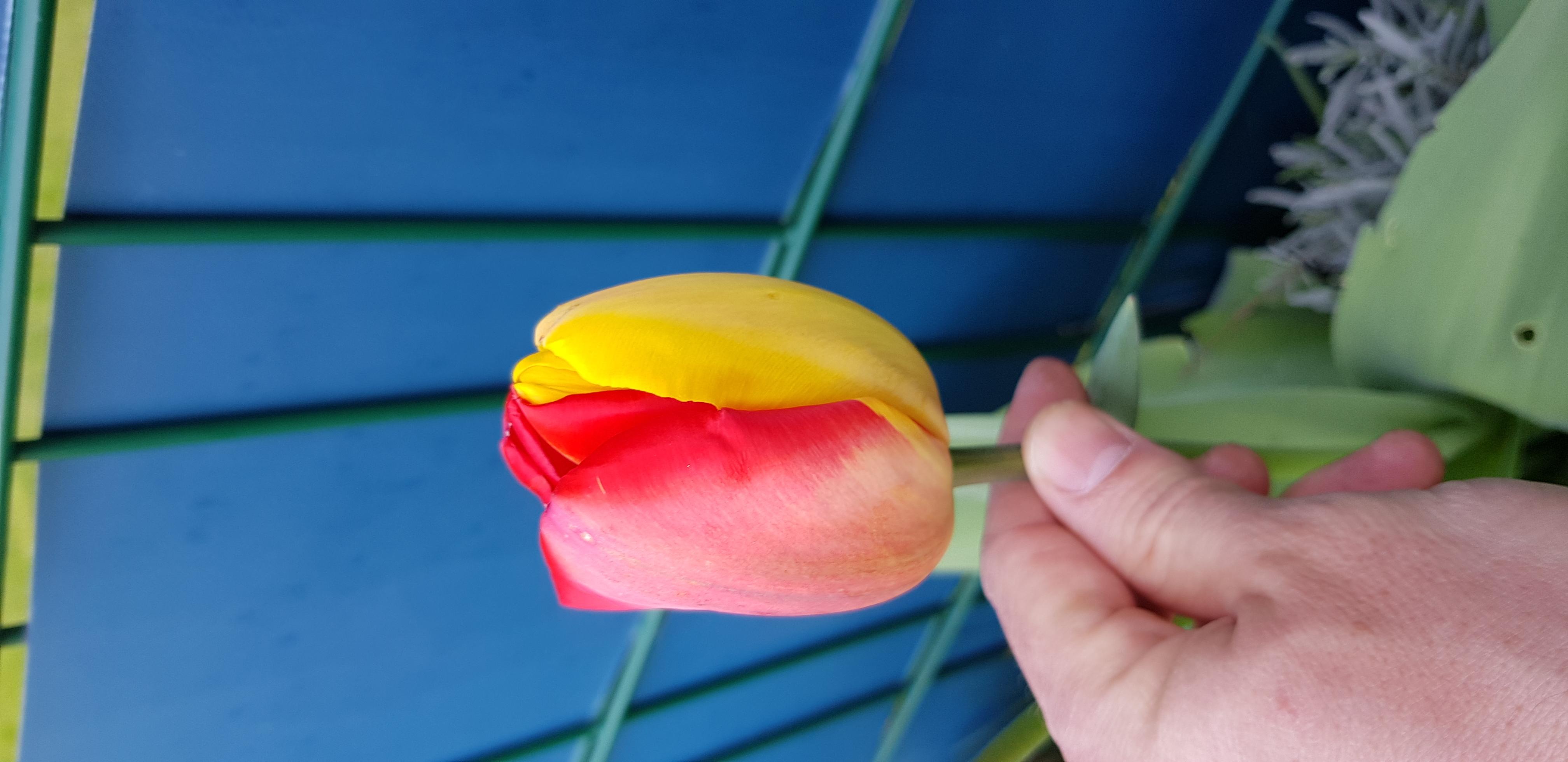 Außergewöhnliche Tulpen