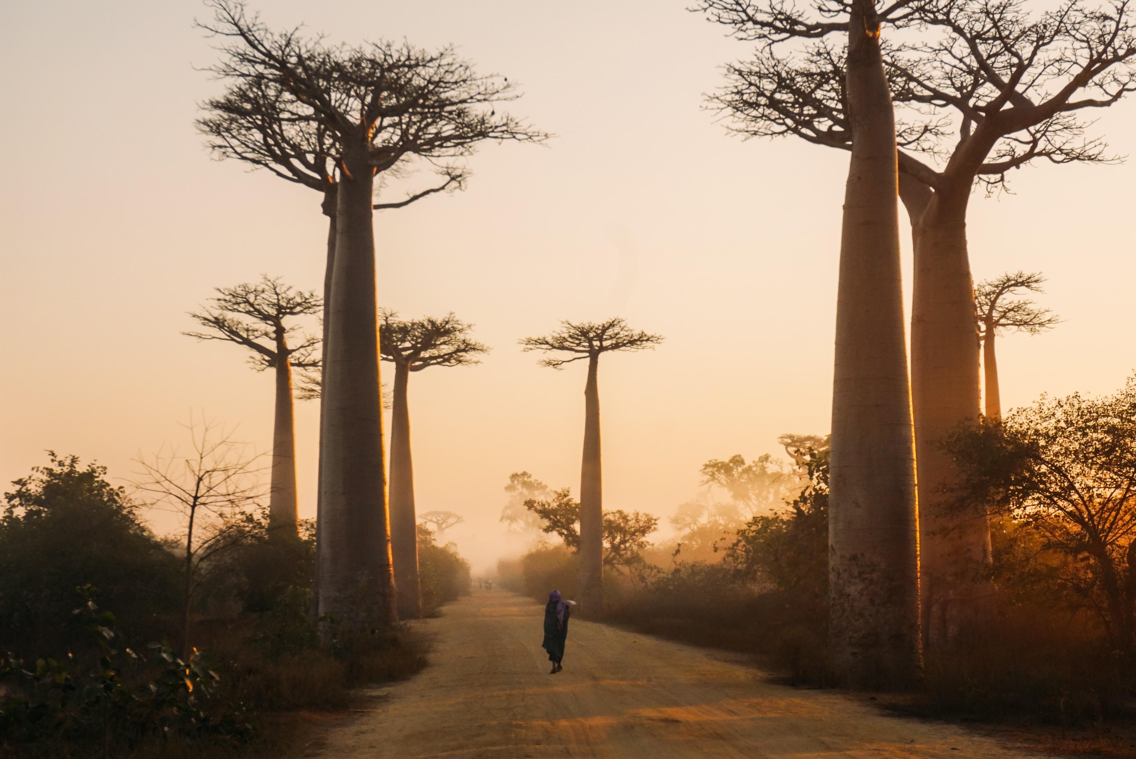 Прогуляться по деревьям Baobab