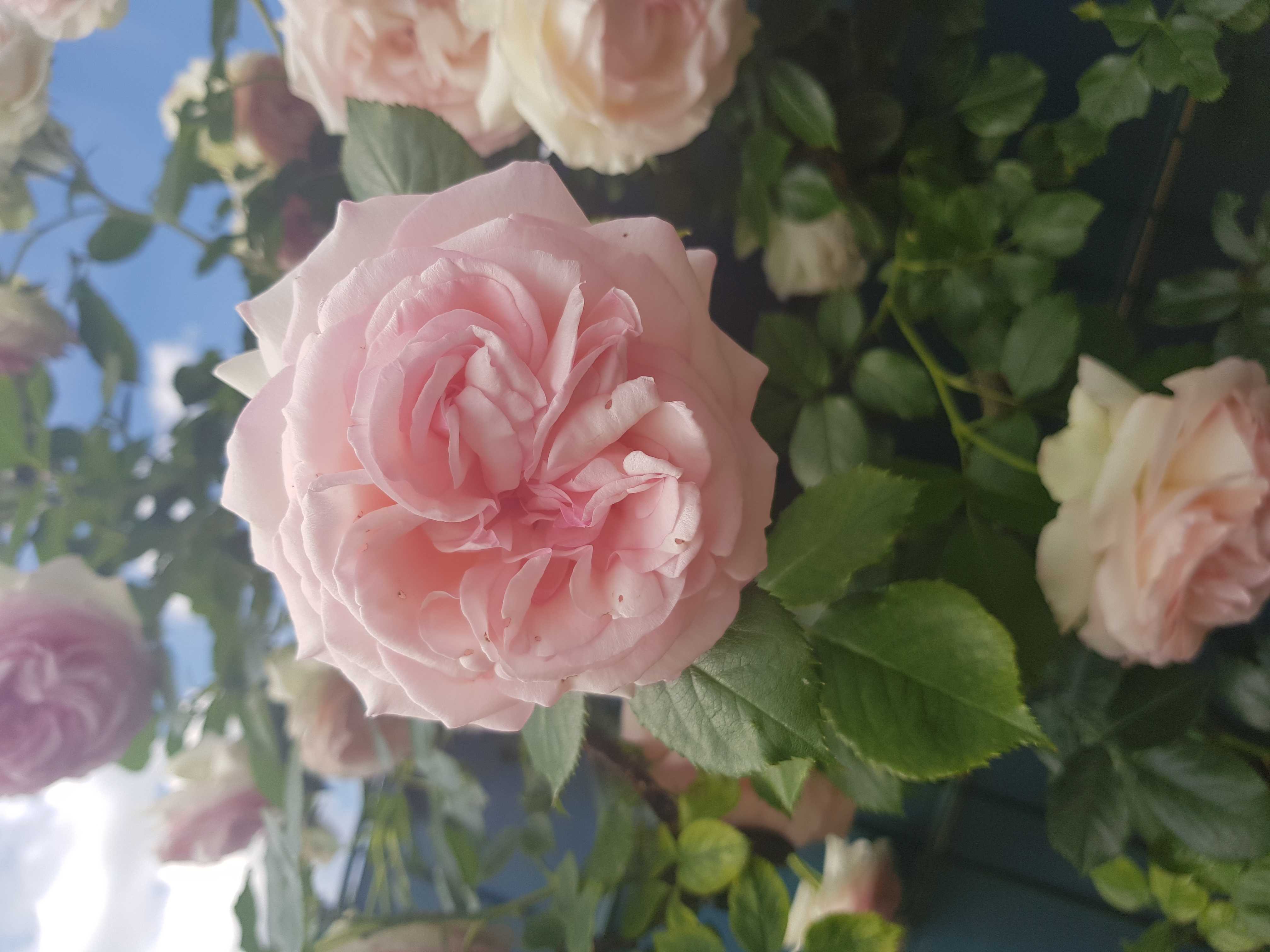 meine schöne Rosen